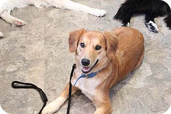 Golden Retriever/American Eskimo Dog Mix Puppy for adoption in West Milford, New Jersey - PAYTON-pending