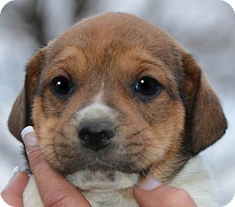 Jack Russell Terrier/Terrier (Unknown Type, Small) Mix Puppy for adoption in Spring Valley, New York - Jay