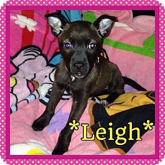 Labrador Retriever/German Shepherd Dog Mix Puppy for adoption in Garden City, Michigan - Leigh