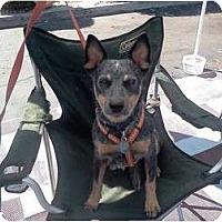 Adopt A Pet :: Kira - adoption pending - Phoenix, AZ