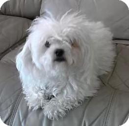 Maltese/Poodle (Miniature) Mix Dog for adoption in Ogden, Utah - Fizzgig