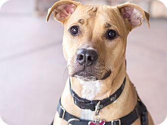 Labrador Retriever/Rhodesian Ridgeback Mix Dog for adoption in Chandler, Arizona - Nala