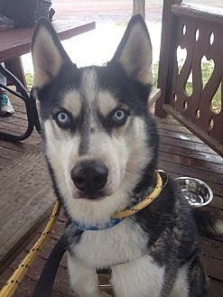 Siberian Husky Dog for adoption in Horsham, Pennsylvania - Jack
