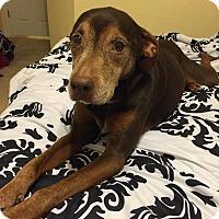 Adopt A Pet :: Harley - Gainesville, FL