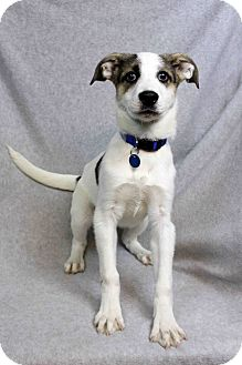Retriever (Unknown Type) Mix Dog for adoption in Westminster, Colorado - Nyla