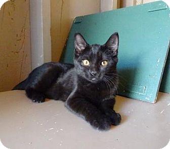 Domestic Shorthair Cat for adoption in Lathrop, California - Gamora