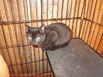 Domestic Shorthair Kitten for adoption in Delmont, Pennsylvania - Smudge