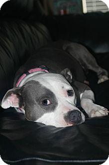 Boxer/Bulldog Mix Dog for adoption in Brattleboro, Vermont - FLOWER