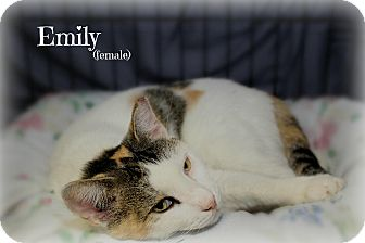 Domestic Shorthair Cat for adoption in Glen Mills, Pennsylvania - Emily