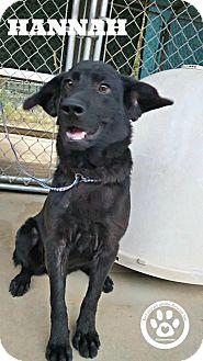 Labrador Retriever Mix Puppy for adoption in Kimberton, Pennsylvania - Hannah