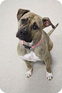 American Staffordshire Terrier/Labrador Retriever Mix Dog for adoption in Manitowoc, Wisconsin - Mocha