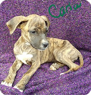 Boxer/Labrador Retriever Mix Puppy for adoption in Albany, North Carolina - Carla