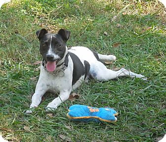 Jack Russell Terrier Puppy for adoption in Ormond Beach, Florida - Jack