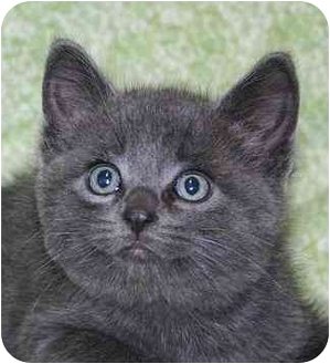 Domestic Shorthair Kitten for adoption in Ladysmith, Wisconsin - Dexter