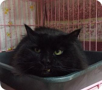 Domestic Longhair Cat for adoption in Orleans, Vermont - Tucker
