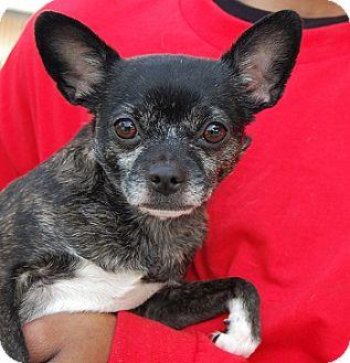 Chihuahua Mix Dog for adoption in Las Vegas, Nevada - Rita