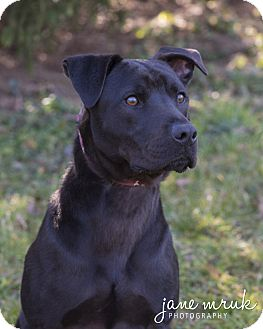 Labrador Retriever/American Staffordshire Terrier Mix Dog for adoption in Middletown, Delaware - Ace