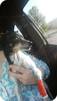 Fox Terrier (Toy) Mix Dog for adoption in Price Hill, Ohio - Sassy
