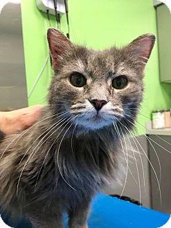 Domestic Mediumhair Cat for adoption in Philadelphia, Pennsylvania - PUDDING!