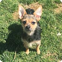 Adopt A Pet :: Zuzu - Indian Trail, NC
