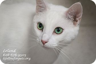 Domestic Shorthair Cat for adoption in Monrovia, California - A Young Male: LELAND