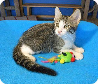 Bengal Kitten for adoption in Glendale, Arizona - Jeremy