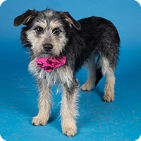Adopt A Pet :: Sophia - Irving, TX
