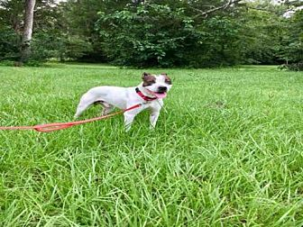 American Staffordshire Terrier Mix Dog for adoption in Tallahassee, Florida - OAKLEY