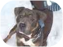 American Pit Bull Terrier Mix Puppy for adoption in Port Alberni, British Columbia - Blue