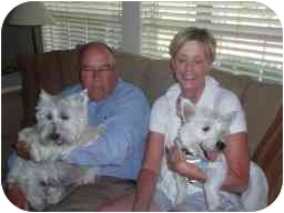 Westie, West Highland White Terrier Puppy for adoption in Frisco, Texas - Chiquita Adopted