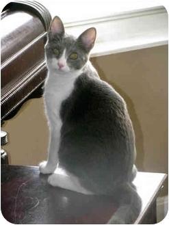 Domestic Mediumhair Cat for adoption in Xenia, Ohio - Fiona