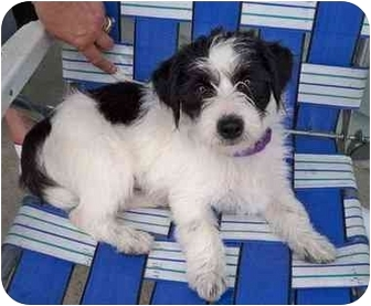 Lhasa Apso/Terrier (Unknown Type, Small) Mix Puppy for adoption in Los Angeles, California - CELINE