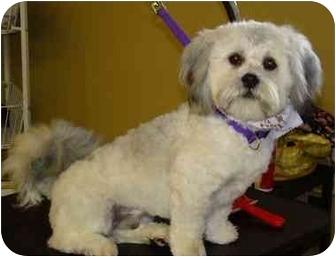 Lhasa Apso Mix Dog for adoption in Poway, California - MAX