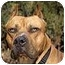 Photo 1 - American Pit Bull Terrier Mix Dog for adoption in All of Colorado, Colorado - Please Hurry! <b>Dozer</b>
