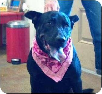 Retriever (Unknown Type) Mix Dog for adoption in Largo, Florida - zShadow - Courtesy Posting