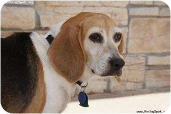 Beagle Dog for adoption in Newcastle, Oklahoma - Sophie