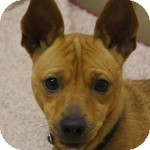 Miniature Pinscher/Rat Terrier Mix Dog for adoption in Eatontown, New Jersey - Judo