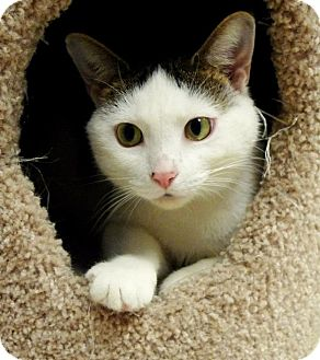 Domestic Shorthair Cat for adoption in Belvidere, Illinois - Angel
