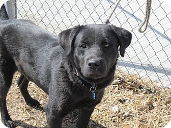 Labrador Retriever Mix Dog for adoption in Evergreen, Colorado - Lorelei