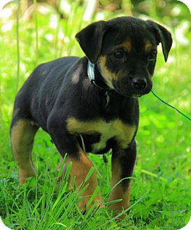 German Shepherd Dog/Jack Russell Terrier Mix Puppy for adoption in Hagerstown, Maryland - Murphy