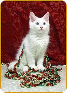 Domestic Mediumhair Kitten for adoption in Orlando, Florida - Bianca