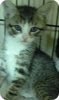 American Shorthair Kitten for adoption in Forest Hills, New York - Twin