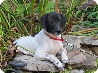 Dachshund/Rat Terrier Mix Puppy for adoption in Bedminster, New Jersey - DITTO