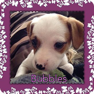 Australian Cattle Dog/Shepherd (Unknown Type) Mix Puppy for adoption in Racine, Wisconsin - Bubbles