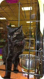 Domestic Shorthair Cat for adoption in Burlington, Ontario - Boo