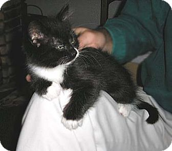 Domestic Shorthair Kitten for adoption in Salem, Oregon - Haida