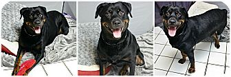 Rottweiler Dog for adoption in Forked River, New Jersey - Diva