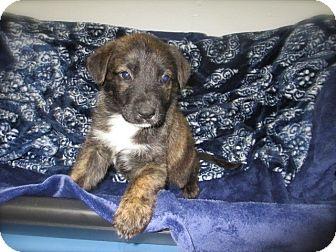 German Shepherd Dog/Cattle Dog Mix Puppy for adoption in El Segundo, California - Henry