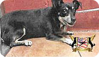 Chihuahua Mix Dog for adoption in Spokane, Washington - Trisha