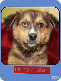 Anatolian Shepherd/Shepherd (Unknown Type) Mix Puppy for adoption in Spring Valley, New York - Duro (pom-Erin)